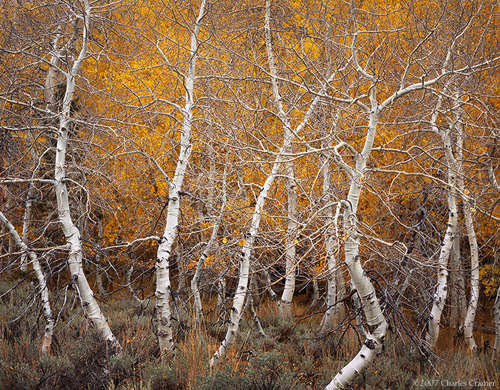 Aspen Dance, Autumn, June Lake