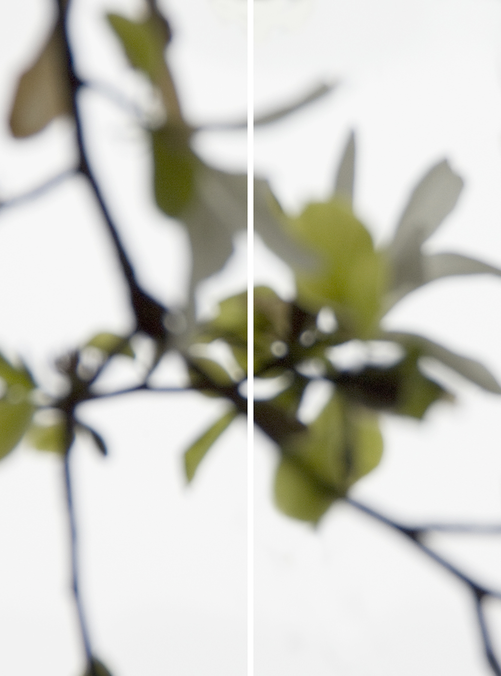 Star Magnolia Greening No.2