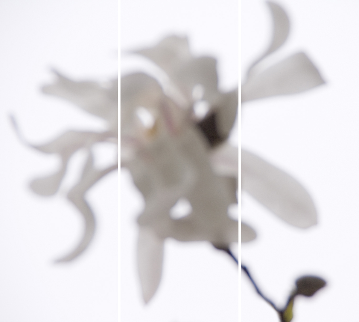 Star Magnolia No.5