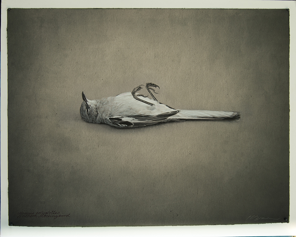Kate Breakey, Northern Mockingbird, Catherine Couturier Gallery