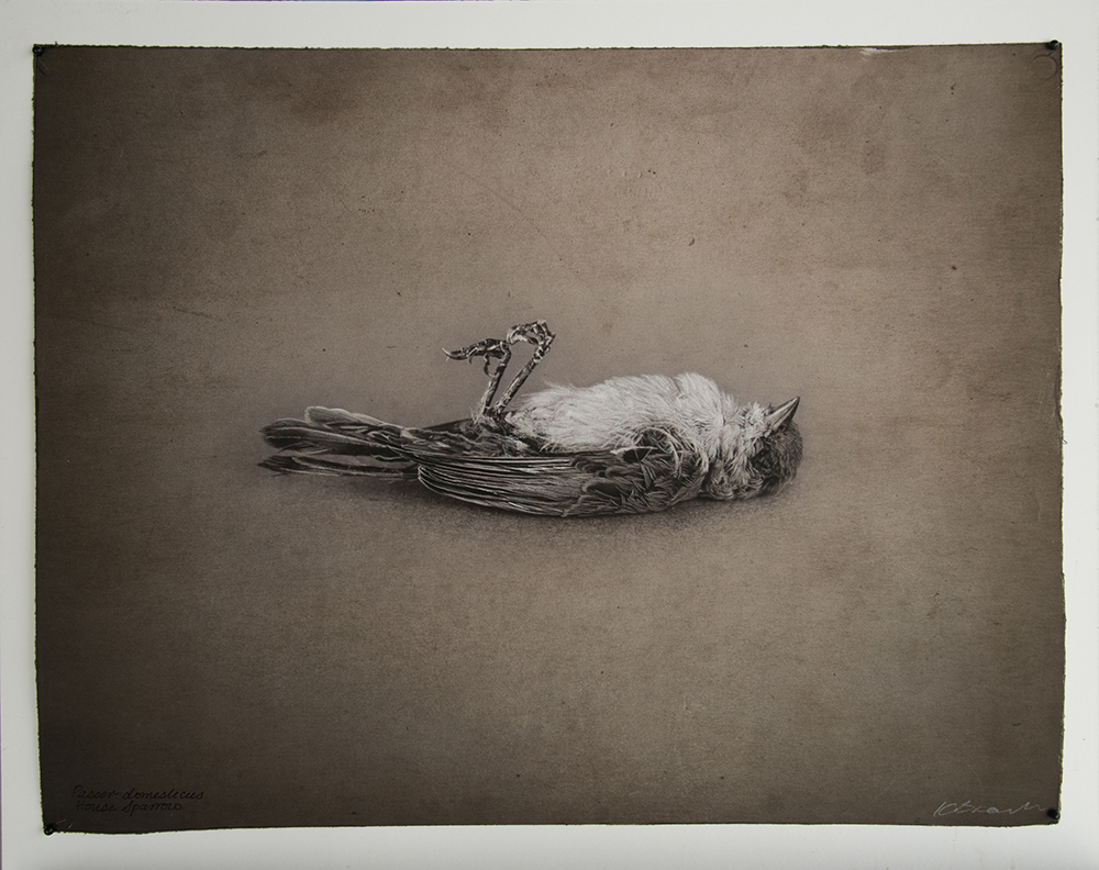 Kate Breakey, House Sparrow, Catherine Couturier Gallery