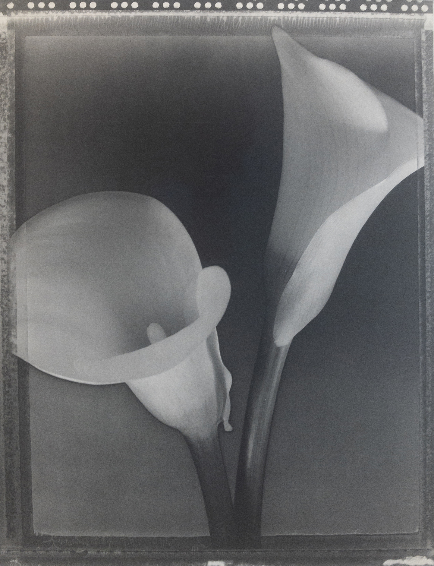Tom Baril, Solarized Calla Lilies, 1995, Catherine Couturier Gallery